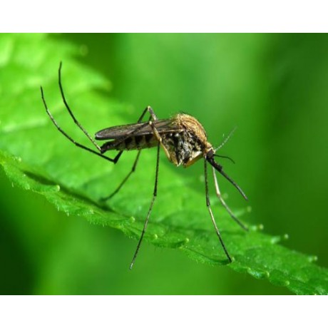 Insecticid profesional anti tantari si muste - (50 ml) Insektum