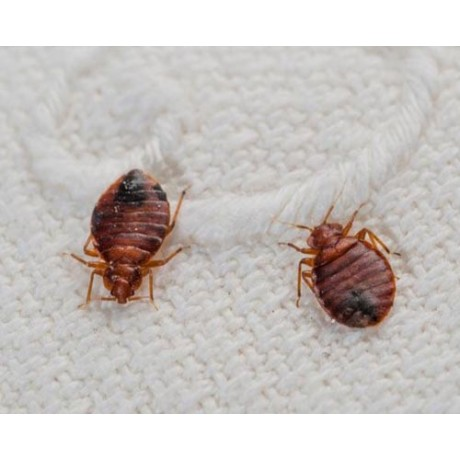 Insecticid anti plosnite cu remanenta 60 de zile - Pertox 8 (100 ml)