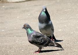 Informatii despre porumbei